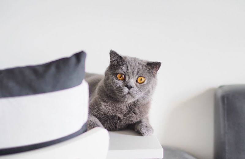 Portrait of scottish fold cat resting against wall at home