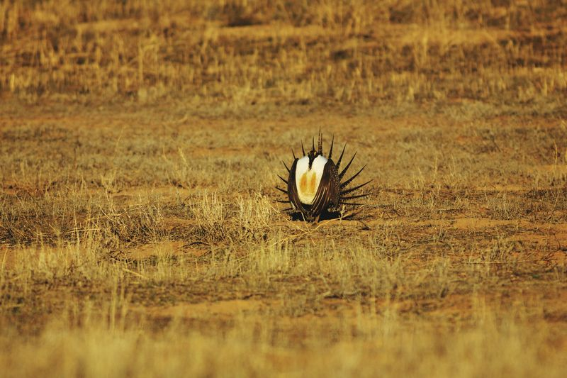 Sage grouse performance Animals In The Wild Bird No People Outdoors Animal Wildlife One Animal Nature Field Day Sage Grouse Greater Sage Grouse Animal Themes Bird Photography Wildlife Animals Parowan, UT Lek Sage Grouse Lek