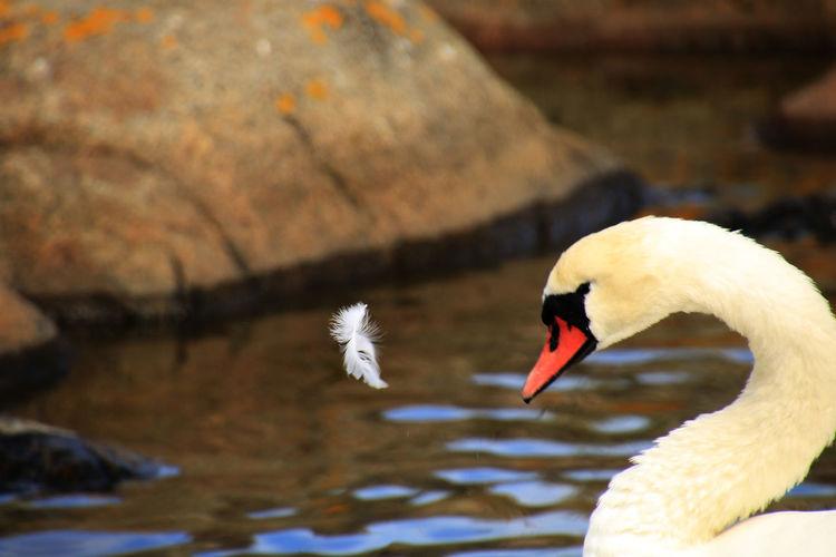 Animal Themes Animals In The Wild Avian Beak Bird Feather  Flying Feather Cloud No People One Animal Sea Swan Swans Water Water Bird Wildlife
