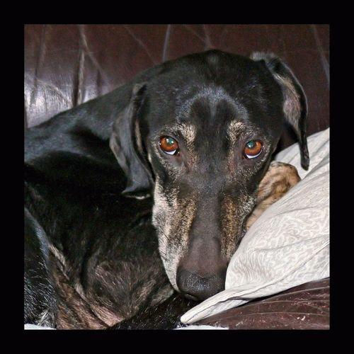 Sloughi de mes amis Pierre & Régine. Sloughi Levrier Greyhound Dog Chien Cute Pets EyeEm Dog Pet Eyes