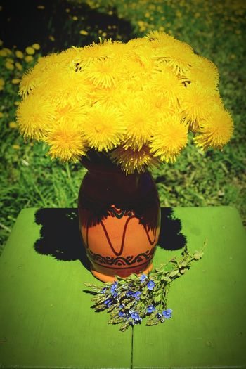 Flower Yellow Beauty In Nature Yellow Flower Collection Yellow Flowers Dandelions In Vase Yellow Dandelions Flowers In Vase Colours Of Life Colours Of Spring Dandelion Dandelion Collection Blossom Colours Of Nature Nature_collection Fragility Outdoors Day Nature Springtime Freshness Blue Flowers Green Chair Vase Of Flowers