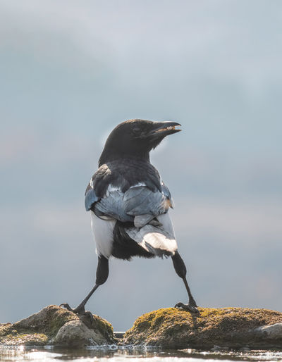 Eurasian magpie (pica pica) Nature and wild bird image Eurasian Magpie Pica Pica Vertebrate Bird One Animal Animals In The Wild Animal Wildlife Rock Perching Rock - Object Solid Focus On Foreground Day No People Nature Full Length Outdoors Sky Zoology