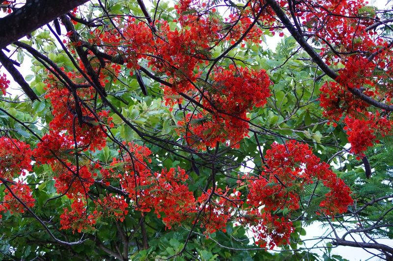 #villahermosa Beauty In Nature Branch Day Low Angle View Nature No People Outdoors Red Tree