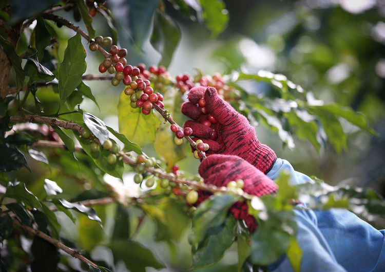 Low angle view of hand plucking cherry on tree