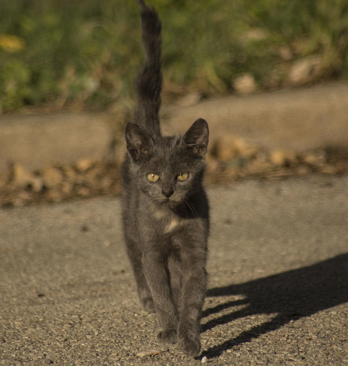 Portrait Of Gray Cat On Road