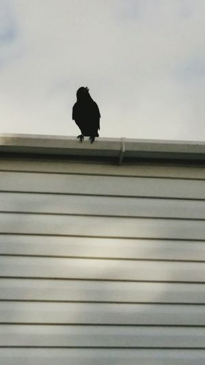 A Crow Sat on a Caravan taken in the Day Light . Featuring Bird One Animal Animal Wildlife Animals In The Wild Outdoors Day Animal Themes Perching Raven - Bird No People Nature Sky