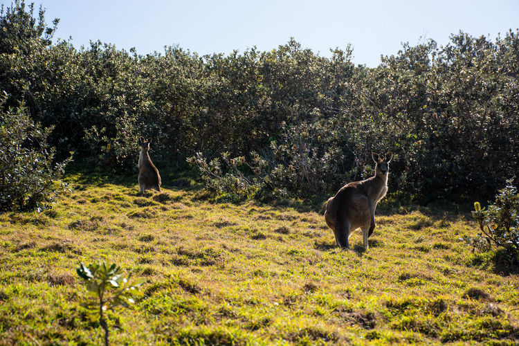 Hat Head Hat Head Plant Mammal Animal Animal Themes Tree Domestic Animals Pets Grass Land Vertebrate Field One Animal Growth Domestic Nature No People Day Animals In The Wild Animal Wildlife Herbivorous Kangaroo