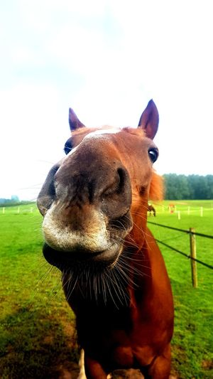 Agriculture Mammal Animal One Animal Livestock Grass Rural Scene No People Portrait Animal Themes Close-up Outdoors Nature EyeEm Nature Lover EyeEmBestPics EyeEmNewHere EyeEm Best Shots Equestrian Equestrianphotography Equestrian Country Life George Thoroughbred Hooves Domestic Animals Ear