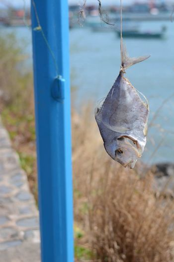 Dead Fish Hanging From Pole
