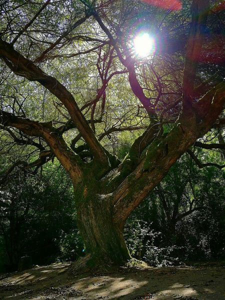 Petrohué Tree Sunlight Nature Sun Growth Sunbeam No People Low Angle View Beauty In Nature Tranquility Outdoors Branch Sky Day Close-up Freshness