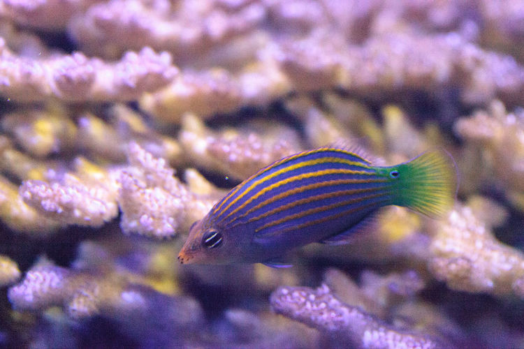Pinstriped wrasse fish Halichoeres melanurus swims over a coral reef Animal Themes Animal Wildlife Animals In The Wild Beauty In Nature Close-up Coral Reef Day Fish Halichoeres Melanurus Nature No People One Animal Pinstriped Wrasse Sea Life Tail-spot Wrasse UnderSea Wrasse