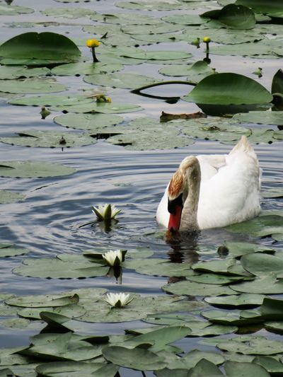 Animal Themes Animals In The Wild Balaton Beak Beauty In Nature Bird Close-up Day Floating On Water Flower Lake Leaf Lily Pad Nature No People Outdoors Plant Swan Swimming Tranquility Water Water Bird Water Flowers Water Lillies Waterfront