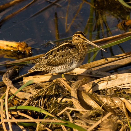 Animal Themes Bird Photography Common Snipe European Birds Gallinago Gallinago Nature Nature Photography No People Snipe Western Palearctic Wildlife & Nature Wildlife Photography