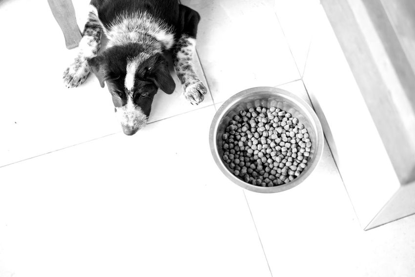 i love bali dogs Animal Themes Bali Bali Dogs Black And White Close-up Day Dog Dog Laying Next To Food Bo Domestic Animals Food High Angle View I Love Bali Dogs Kibble Mammal Monochrome No People One Animal Pets Place Of Heart Ubud Pet Portraits