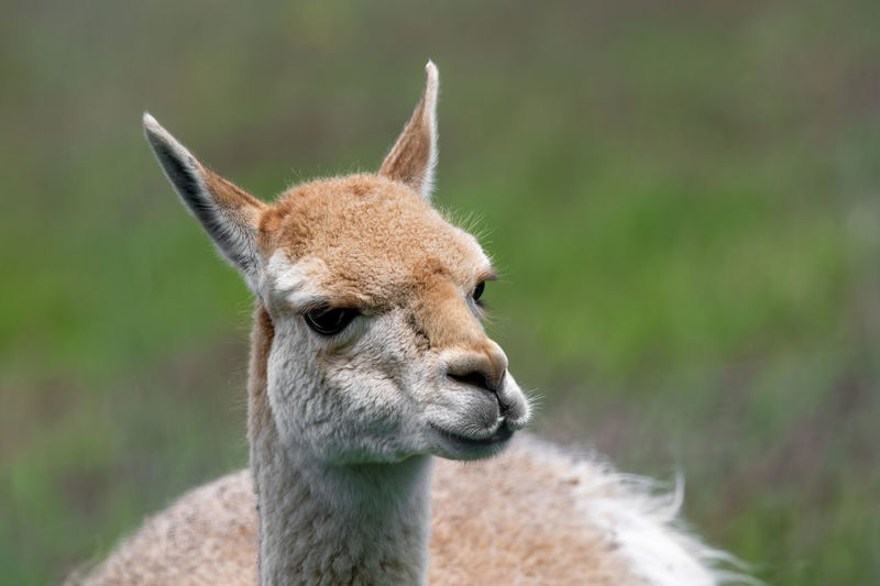 America Andean Peru South Southern Adult Alpaca Animal Camel Camelid Close-up Curious Cute Domesticated Ears Expensive Eyelashes Eyes Family Farm Fauna Fluffy Food Friendly Funny Fur Furry Hemisphere Lama Legs Life Livestock Mammal Meat Mountains Nature Organic Pet Rural Vicuña White Wild Wool