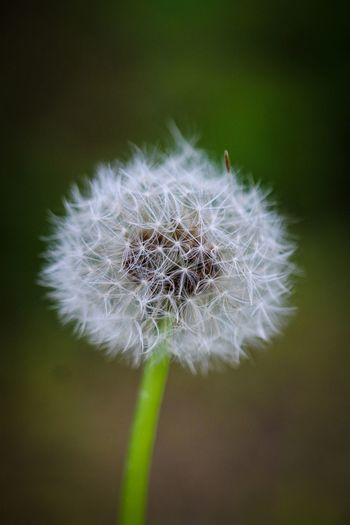 Beauty in Nature Plant Flower Fragility Flowering Plant Close-up Vulnerability  Beauty In Nature Dandelion Inflorescence Flower Head Freshness Focus On Foreground Nature Growth No People Softness White Color Dandelion Seed Plant Stem Outdoors