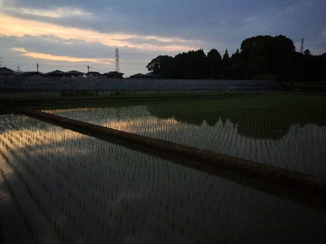 Country Rice Field Twilight