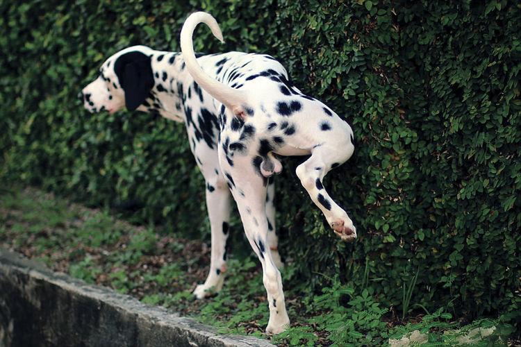 Animal Markings Animal Themes Colour Of Life Dalmation Day Dog Green Color Mammal Outdoors Pee Pet Eyeemphoto