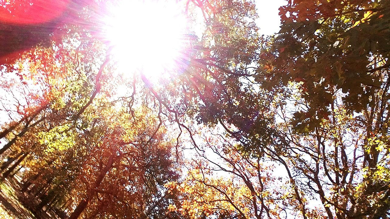 tree, low angle view, nature, beauty in nature, autumn, lens flare, growth, sunbeam, sunlight, outdoors, change, leaf, branch, no people, sun, day, scenics, tranquility, forest, tranquil scene, sky