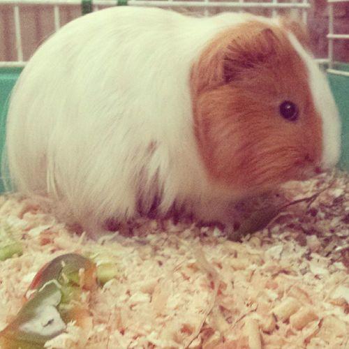 Oh mia piccola Estherina ♥ Esther Guinea Pig Cavia porcellus porcellino d' india mylife love morbidosa amormej pallottola chesibella animal pet cute