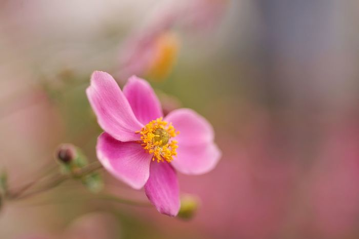 Adoration Japanese Anemone 秋明菊 Flower Blooming Dreaming Masako201709 Micronikkor 105mm SONY A7ii Micro Nikkor 105mm F2.8 Micro Nikkor 105mm