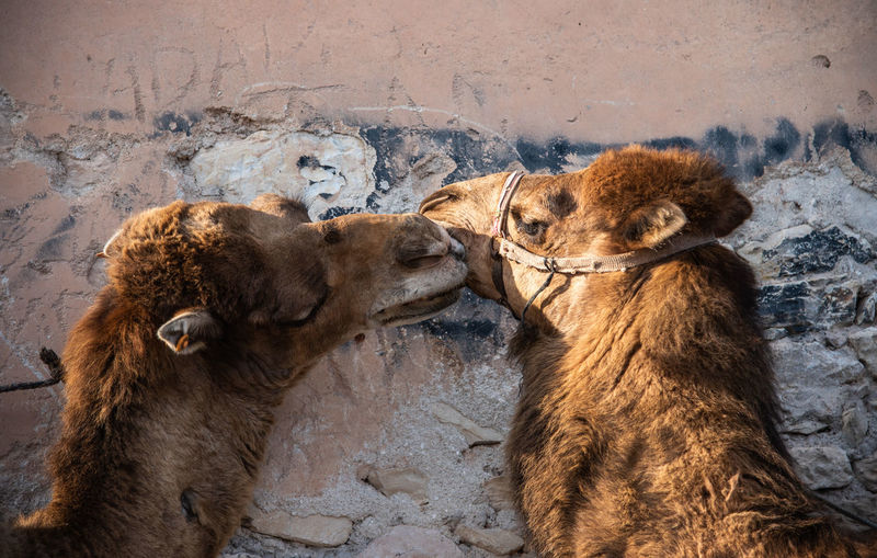 Camels against wall