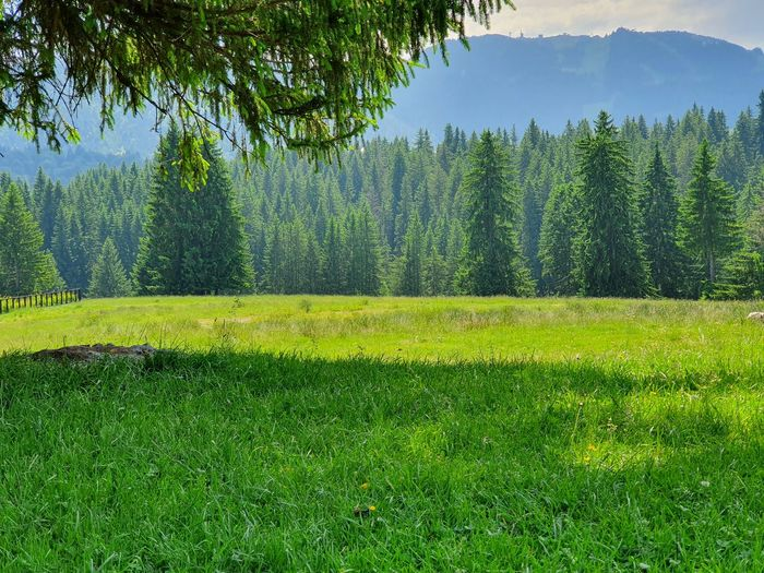 Scenic view of pine trees in forest