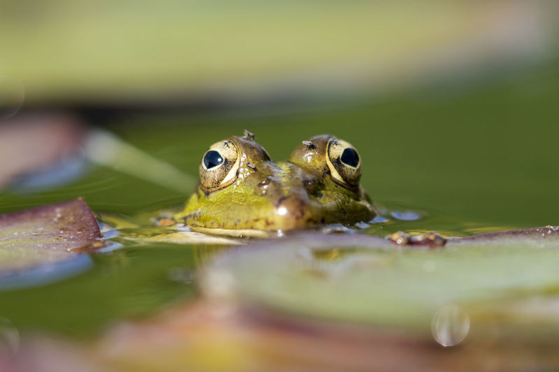 Close-up of frog swimming in pond