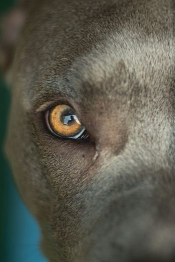 Moon Eyes. Pitbull Eyes Gold Dog Gray Beautiful Portrait Animal_collection Animals Dog Love