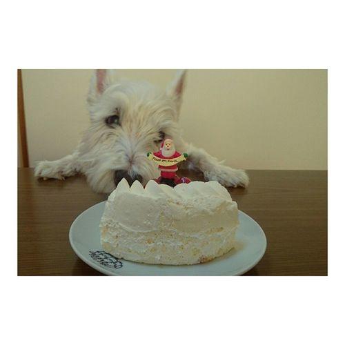 MerryChristmas everyone❇🎄 No cake for ya スノちゃん tho🐶 クリスマス ケーキ ウエスティー スノ Westie Instafood Instadog Santa