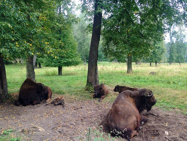 Animal Themes Nature Mammal No People Farm Animal Beauty In Nature Summertime Summer Family Bison Buffalo
