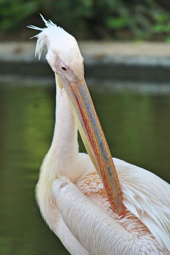 The summer itch!! Animal Themes Animal Bird Animal Wildlife One Animal Vertebrate Animals In The Wild Outdoors White Color Feather  No People Beak Focus On Foreground Pelican Archival Animal Body Part Close-up Egret Nature Day