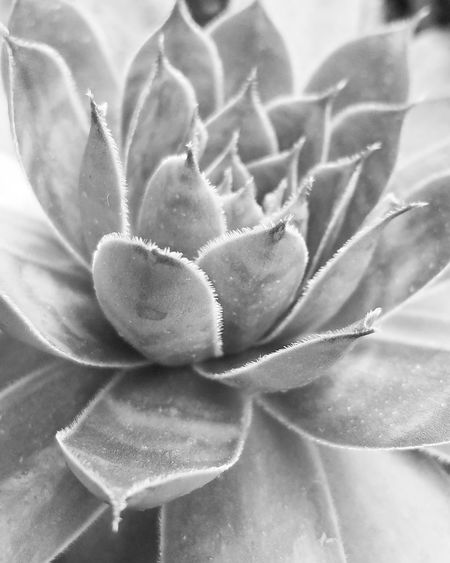 Plant Growth No People Close-up Nature Beauty In Nature Chicks And Hens Succulents Blackandwhite