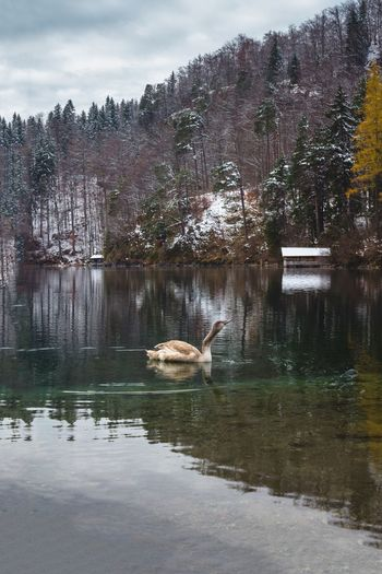 Swan on the Alpsee lake near Schwangau in the winter, near important attraction points Neuschwanstein, bavarian town Hohenschwangau and Fussen, Bavaria, Germany. Snowy landscape Water Animals In The Wild Lake Animal Themes Animal Animal Wildlife Vertebrate Swimming Reflection Bird Beauty In Nature Waterfront One Animal Day Nature Tree Swan No People Plant Floating On Water EyeEm Animal Lover EyeEm EyeEm Nature Lover Alps Swans ❤ My Best Photo
