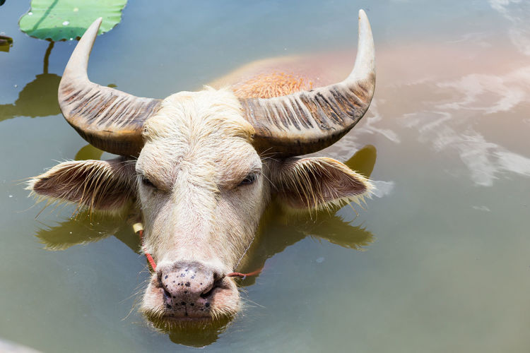 High angle view of buffalo relaxing in water