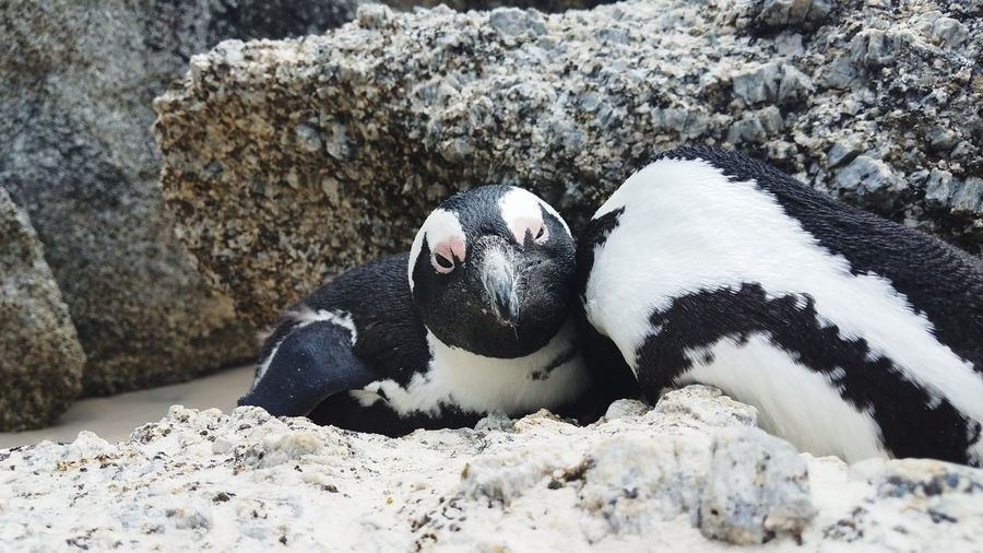 penguin cuddles South Africa Boulder Beach Sea Life UnderSea Beach Sand Sea Close-up Penguin Sea Bird Swimming Animal Colony Antarctica First Eyeem Photo