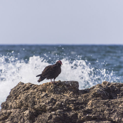 Vulture perching on rock by sea against sky
