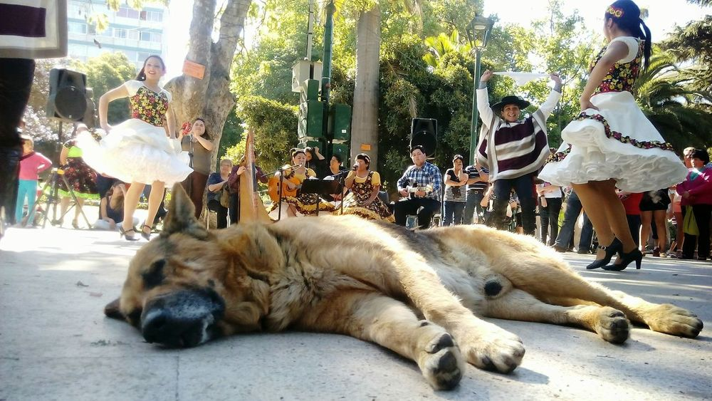 Pets One Animal Outdoors Day People Dogslife Cueca  Chile Dog Sleeping