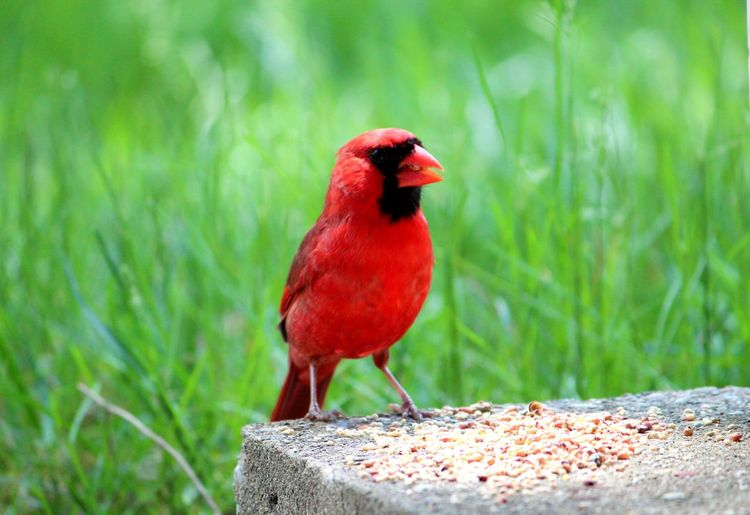 Animal Themes Bird Animal Vertebrate Animal Wildlife Animals In The Wild One Animal Perching Red No People Nature Cardinal - Bird Day Green Color Focus On Foreground Close-up Outdoors Plant Songbird