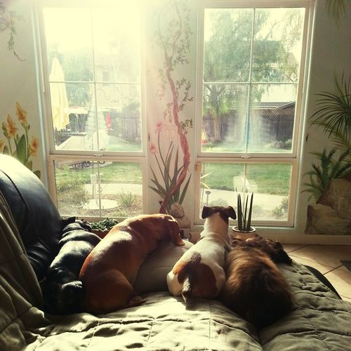 Indoors  Window Sunlight Home Interior Doxiefever Jack Russel Terrier Bako♥️♥️♥️ Tina♥️ Pearl♥️ Maya♥️