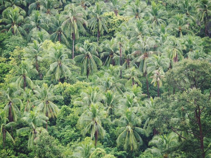 High angle view of coconut palm trees in forest