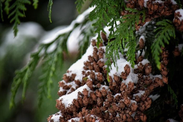 Nature Winter Tree Cold Temperature Snow Growth Close-up Beauty In Nature Outdoors No People Day Frozen Snow Covered Snow ❄ Wintertime Outdoor Photography Beauty In Nature Nature Winter Branch Cedar Tree Trees