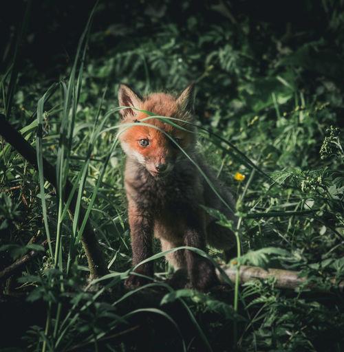 youngblood Deer