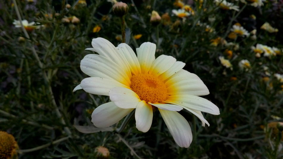 Flower Freshness White Petals Yellow Color Beautiful Botony Flower Head Blooming Beauty In Nature Flowers,Plants & Garden Happiness