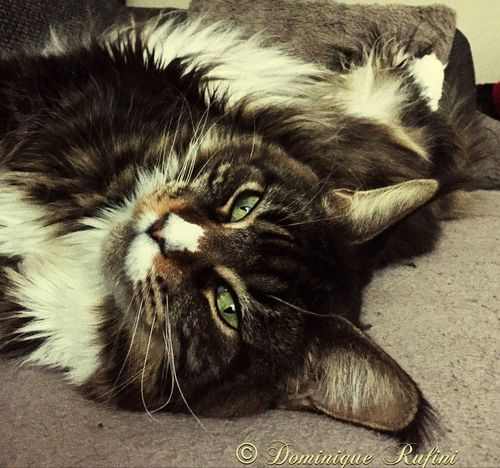My Minka love 😻💞💕 , Maine Coon Cat Maine Coon Maine Coon Cats Mainecoon Mainecooncat Mainecooncats Mainecoons , Catlover ♡ Catlover Catlovers Catlover 😸 Catlove , Chilling Cat Relax Cat Cat♡ Cats 🐱 Cats , Katzenliebe Katzen 💜 Katzenleben Katze Katzen Katzenfoto , Chat Gatto😸