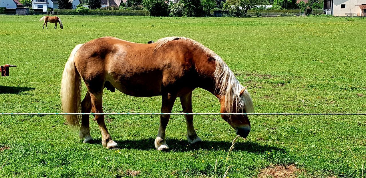 Agriculture Animal Animal Themes Animal Wildlife Day Domestic Domestic Animals Field Grass Grazing Green Color Herbivorous Horse Land Livestock Mammal Nature No People Outdoors Pets Plant Ranch Vertebrate