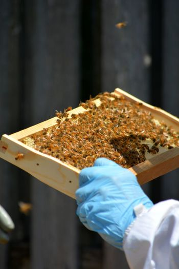 Beekeepers inspecting rack of  young hive