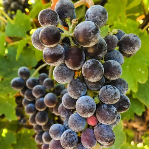 California Harvest: Cabernet Sauvignon Wine Grapes Cabernet California Trauben Grape Close-up Vineyard Bunch Food And Drink Nature Focus On Foreground Outdoors Winemaking Fruit
