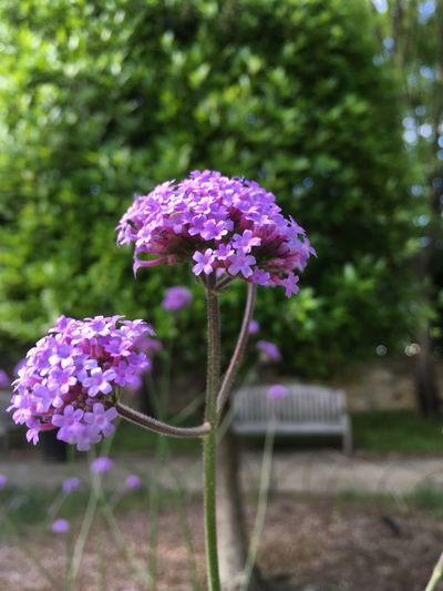 Verbena in Shakespeare's Garden IPhoneography Purple Shakespeare Bench Flower Flowering Plant Plant Freshness Beauty In Nature Vulnerability  Fragility Close-up Outdoors Flower Head Growth No People Focus On Foreground