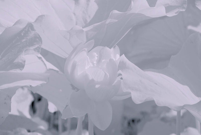 630nm 760nm IR Infrared Flower Infrared Photo Infrarot B&w Day Infrared Camera Infrared Color Infrared Filter Infrared Photography Lotus Leaves No People Outdoors Unfolding Water Lily Flower